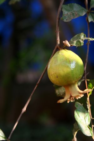 laden: Tree laden with fully growen pomegranate fruit