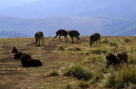 A herd of Nilgiri Tahrs / Mountain Goats Stock Photo - 3813283