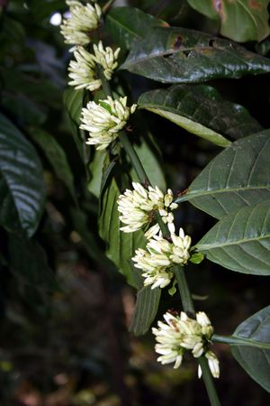 Row of white coffee flowers from which beans will emerge