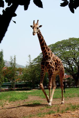 Giraffe, un long cou de couleur brun fonc� avec des animaux patch� peau
