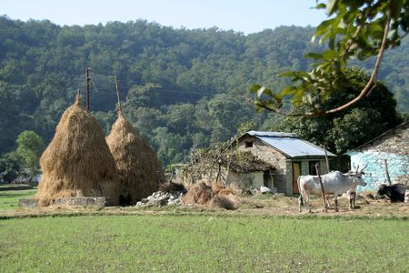 Scene of typical Indian village with hay stalk towers, house and cattle