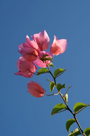 Bunch of pink bougainvillea isolated by bright blue sky photo