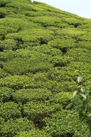 sloppy: Beautiful pattern of bright, green tea garden on sloppy hill