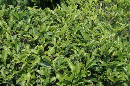 Bright, feuilles vertes de th�, boisson populaire dans le monde entier