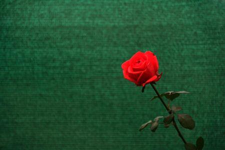 Brillant rose rouge fleur avec des feuilles isol�es sur fond vert Banque d'images