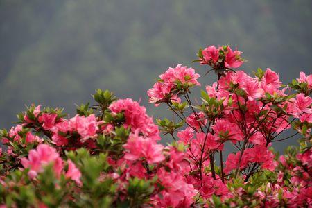 Bush charg� de fleurs roses isol�es sur arri�re-plan flou