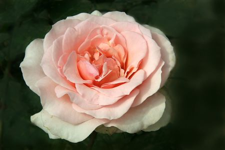 loveliness: Light, pink, delicate, concentric petals of rose isolated on dark green background Stock Photo