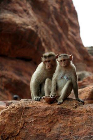 Deux singes assis prettily dans divers humeurs sur un rocher rouge  Banque d'images