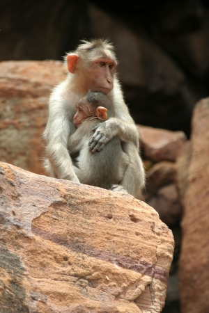 clinch: Monkey life with protective mother and defensive hug of baby