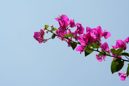 Bunch of pink bougainvillea flowers isolated on blue sky photo
