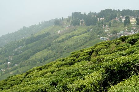 Town on top of mountain with tea garden in foreground, Darjeeling, West Bengal, India, Asia