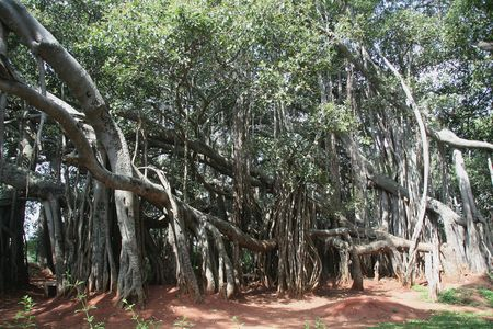 Vast spread of external roots of 'Big Banyan Tree' on the ouskirts of Bangalore, Karnataka, India, Asia