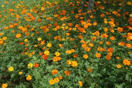 Buoyant, yellow, orange cosmos flowers swaying amidst green leaves Stock Photo - 7645964