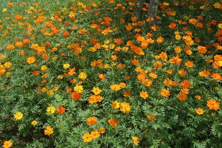 buoyant: Buoyant, yellow, orange cosmos flowers swaying amidst green leaves Stock Photo
