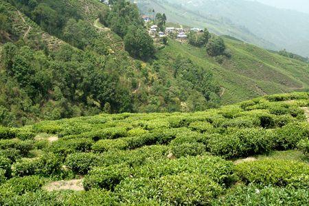 Jardins de th� autour de Darjeeling, West Bengal, en Inde, Asie