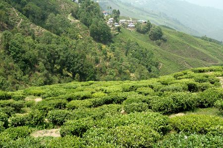 Tea Gardens around Darjeeling, West Bengal, India, Asia photo