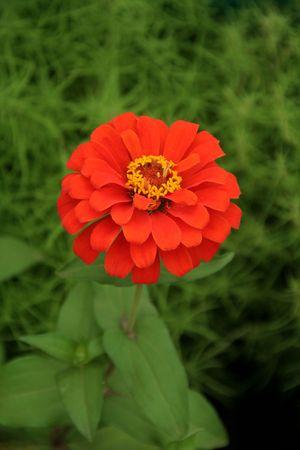 Fleur avec concentriques vif, rouge couleur/couleur pétales sur fond de feuillage vert Banque d'images - 7832374