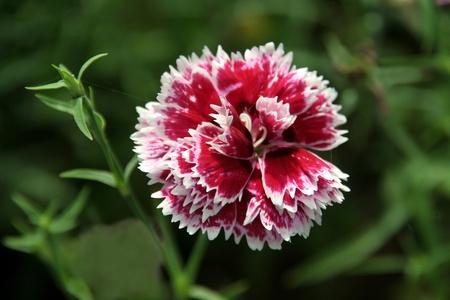 sectores: Hermoso arreglo de p�talos florales en sectores de blancos y rojos con borde de recorte