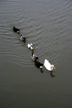 �ber Wasser: White Duck f�hrt den Rest schwimmt auf dem Wasser schwimmen