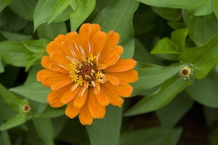 Brilliant feuilles vertes, p�tales orange et boutons �mergents