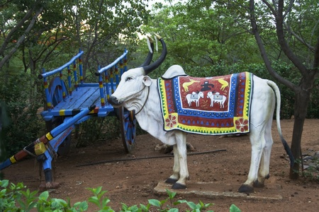 bullock: Blue painted cart and white bullock with embroidered cloth on his back