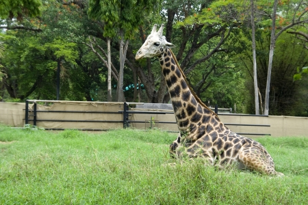 zoological: Long necked animal giraffe taking rest after having food in zoological park