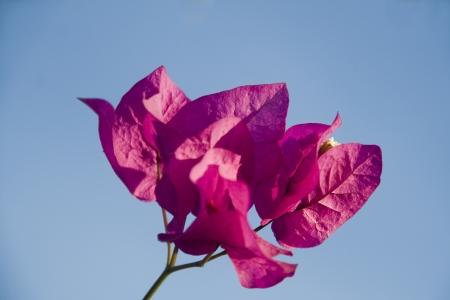 Bouquet de bougainvilliers rouge isol� sur le ciel bleu Banque d'images