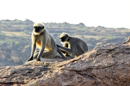 lice: Tiro sincero de mono recogiendo los piojos del cuerpo de su compa�era
