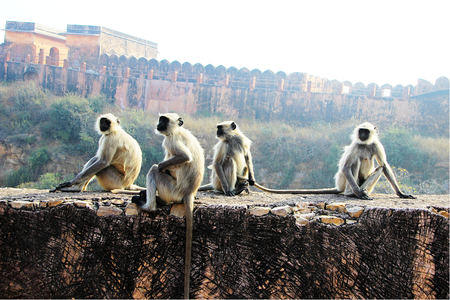vicinity: Monkeys sitting on roadside wall in the vicinity of Jaigarh Palace, Jaipur, Rajasthan, India, Asia