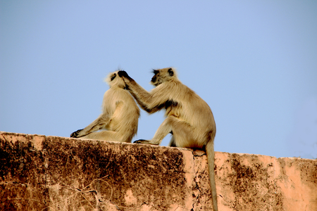 Monkey involved in the act of picking lice from body of his companion