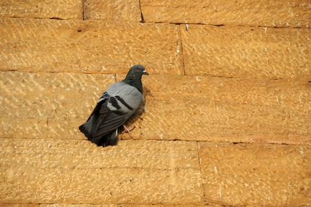 black feathered: Grey and black feathered dove firmly clinging on red stone wall Stock Photo