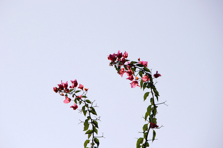 bowing head: Two branches of bougainvillea flower shrub, beautifully bowing high in air against bright sky background