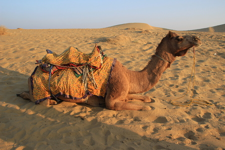 easing: Camel having break after ride at sunset at Sam Sand Dunes, Jaisalmer, Rajasthan, India, Asia