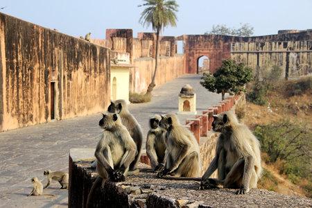 Activities of monkeys greet the tourists at Jaigarh Palace, Jaipur, Rajasthan, India, Asia