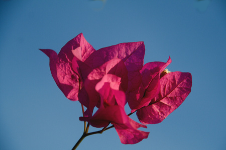 Bunch of reddish pink bougainvillea flowers isolated on blue sky