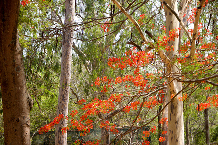 Green foliage, bare tree trunks and red Mayflower bloom at Bannerughatta National Biological Park near Bengaluru, Karnataka, India, Asia Stock Photo