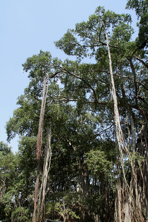Roots of Big Banyan Tree on the outskirts of Bengaluru, Karnataka, India, Asia hanging from the lofty branches