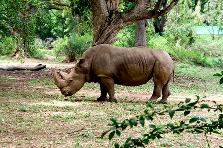 Strolling rhinoceros at Krishnarajendra Zoological Park, Mysuru, India, Asia Stock Photo