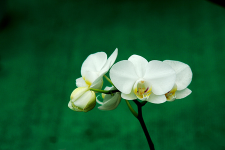 Bunch of white orchid buds and flowers isolated on blurry green background Stockfoto