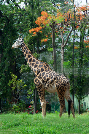 Long necked animal giraffe standing alert in green surrounding at Krishnarajendra Zoological Park, Mysore, Karnataka, India, Asia