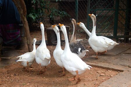 Group of duck croaking in chorus at Janapada Loka Folk Art Museum near Ramanagara in Karnataka, India, Asia