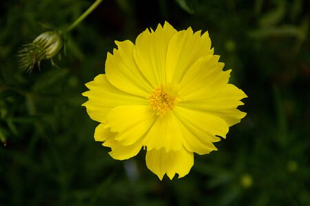 Closer view of yellow cosmos flower and bud in dark green background Standard-Bild