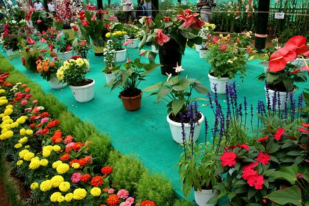 Arrangement of Flower plants and pots at Flower Show in Lalbagh Botanical Garden, Bengaluru, Karnataka, India, Asia Standard-Bild