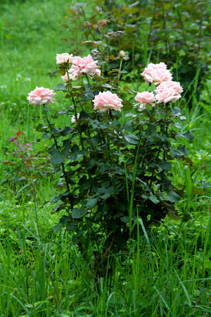 Rose bush with deep green leaves and pink flowers on green grassy ground