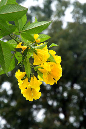 Tip of golden trumpet tree branch with green leaves and bright yellow flowers