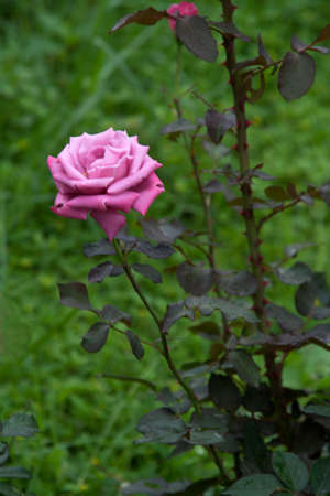 Closer view of well bloomed rose flower in blurry green background Standard-Bild