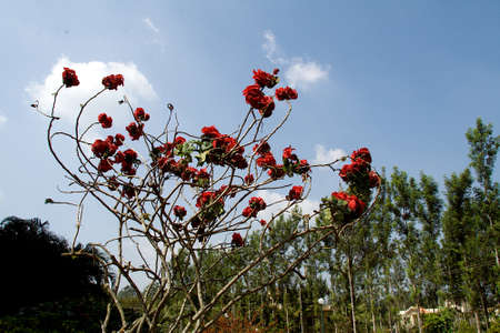Reddish shimul red silk cotton bush plant with scanty leaves and bare twigs