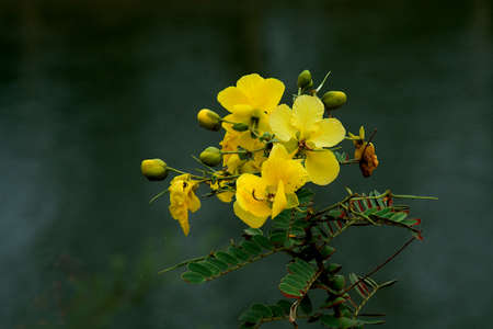 Flowers and buds of Cassia Augustfolia with leaves set against blurry background Standard-Bild