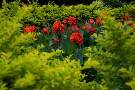 Red canna lily plants with dark green leaves amid light green foliage Standard-Bild