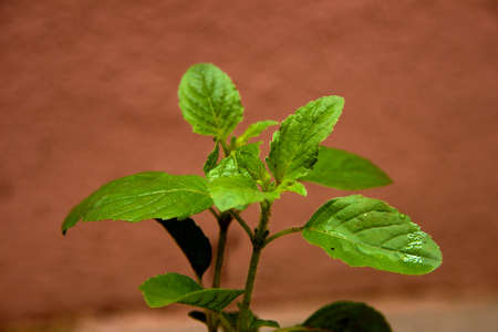 Close-up of bunch green basil leaves with medicinal property against brown background
